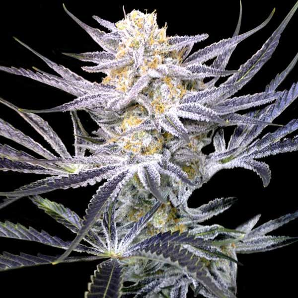 Strawberry Fields Regular Cannabis Seeds by Crocket Family Farms Skip to the beginning of the images gallery Strawberry Fields Regular